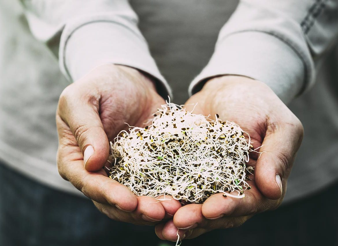 Alfa Sprouts in Man's Hands